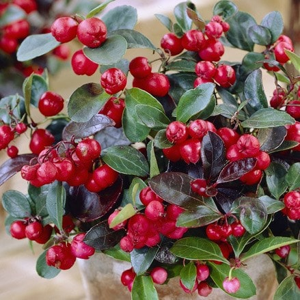 Gaultheria procumbens Big Berry ('Gaubi') (PBR)