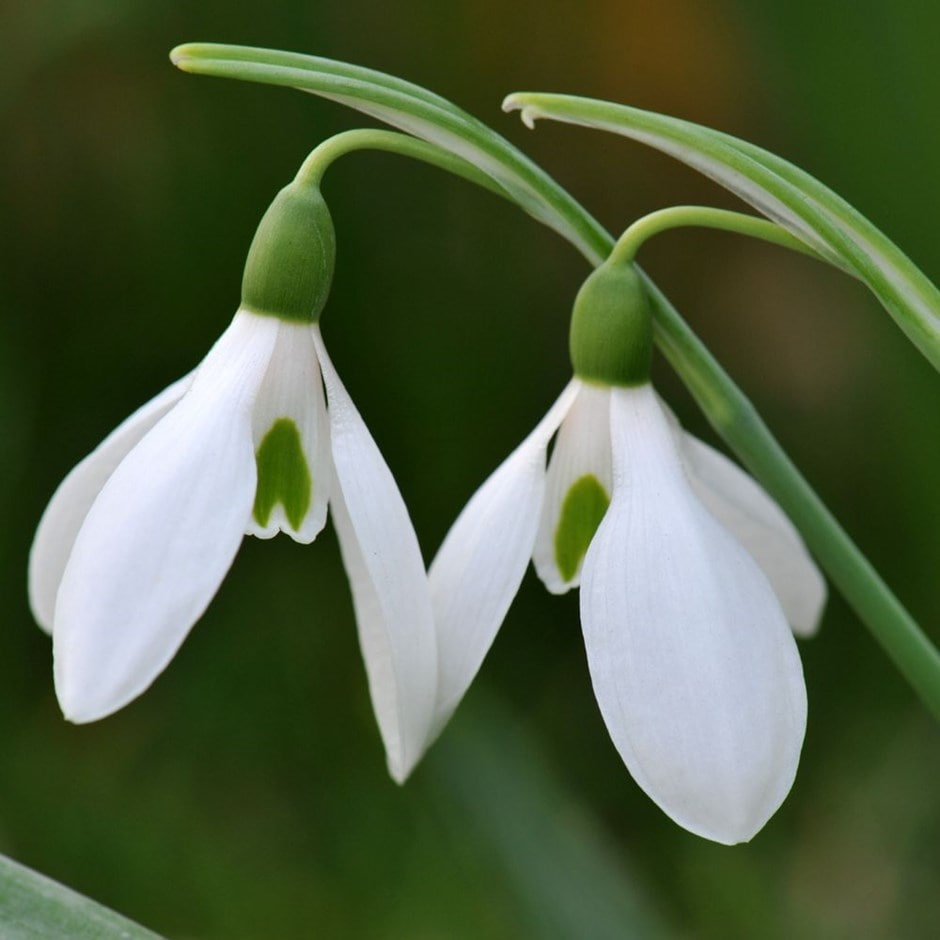 snowdrop - potted bulbs