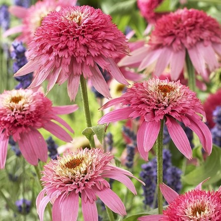 Echinacea purpurea Pink Double Delight (PBR) (Cone-fections Series)