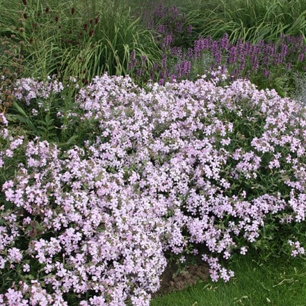 Saponaria × lempergii Max Frei