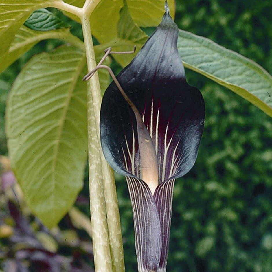 Buy Cobra Lily Arisaema Speciosum Delivery By Waitrose Garden In