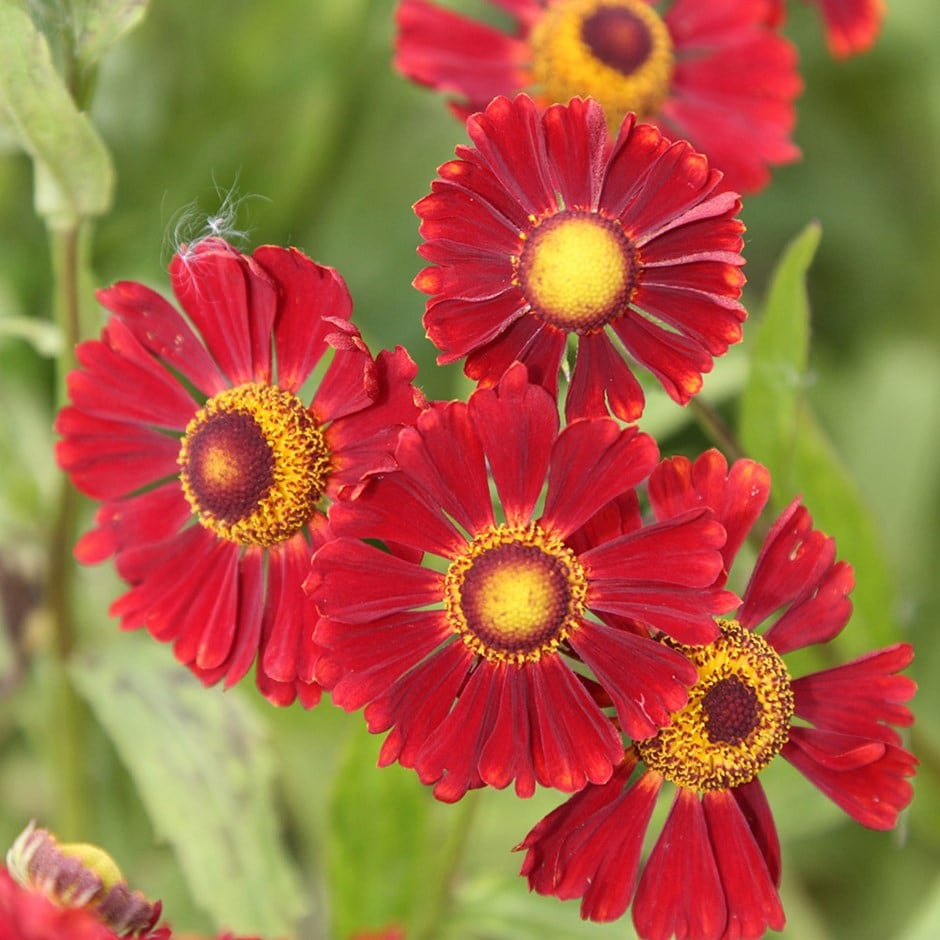 sneezeweed (syn Ruby Tuesday )