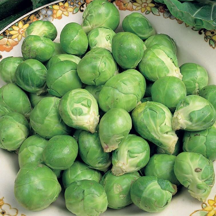 brussels sprout / Brassica oleracea (Gemmifera Group) 'Evesham Special'