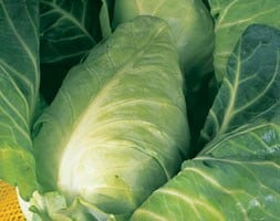 cabbage Durham Early