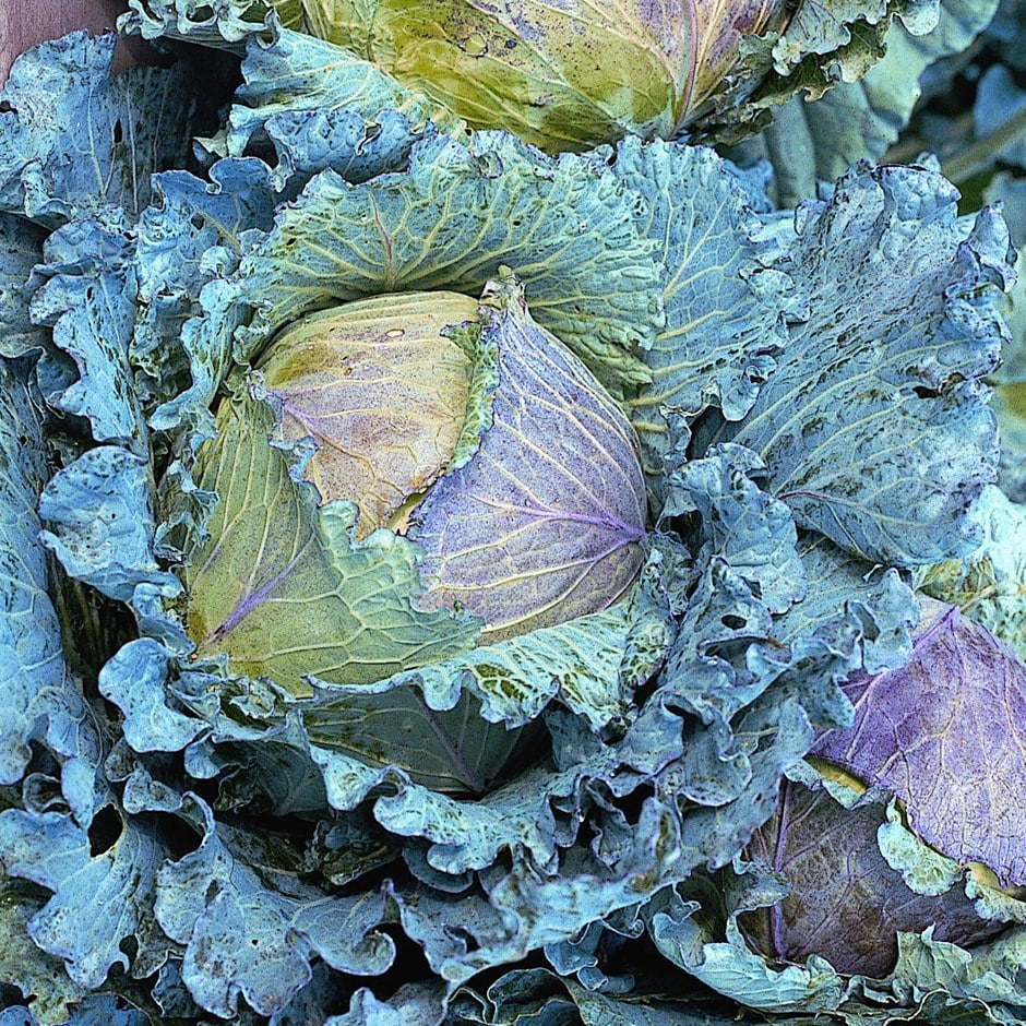 cabbage / Brassica oleracea (Capitata Group) 'January King'