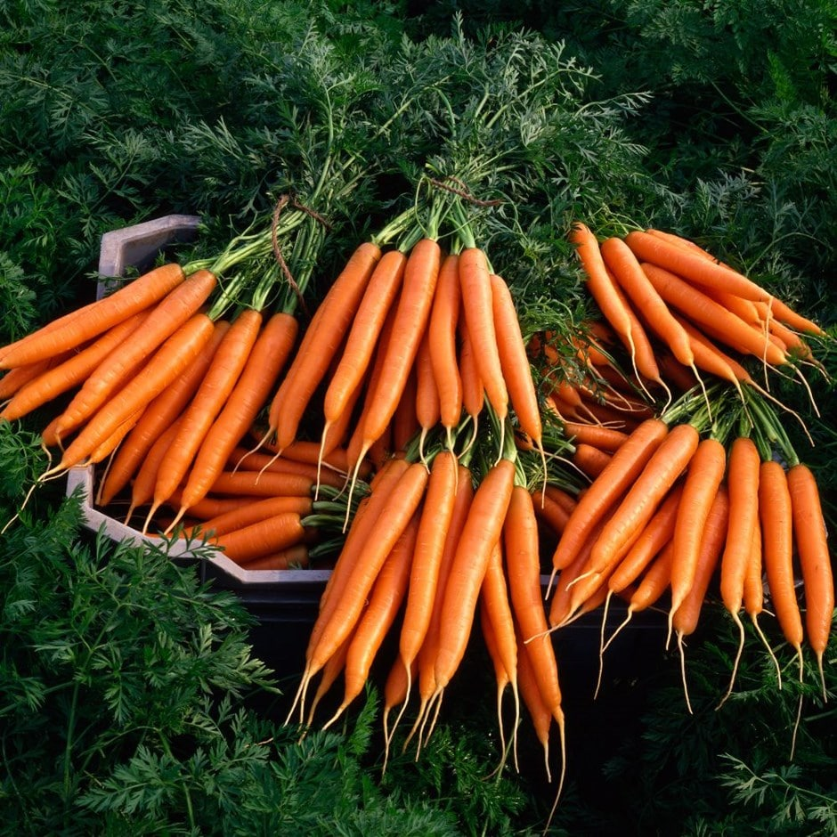 carrot /  Daucus carota 'Early Nantes'