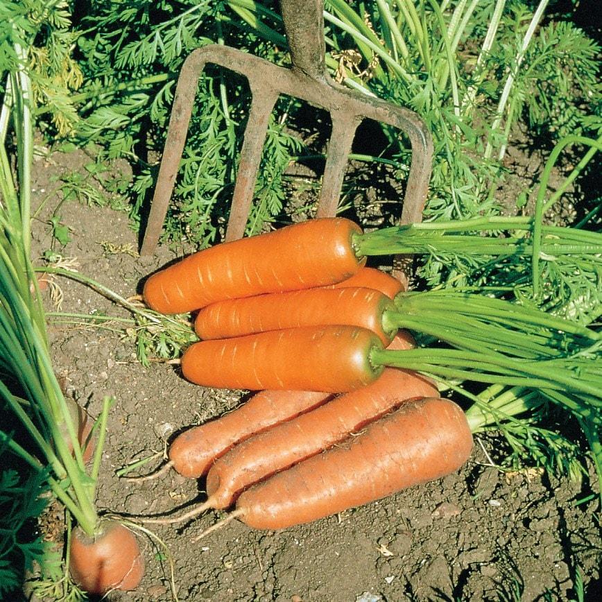 carrot / Daucus carota 'Flyaway'
