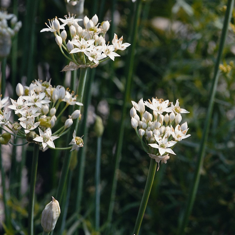 garlic chives or Allium tuberosum