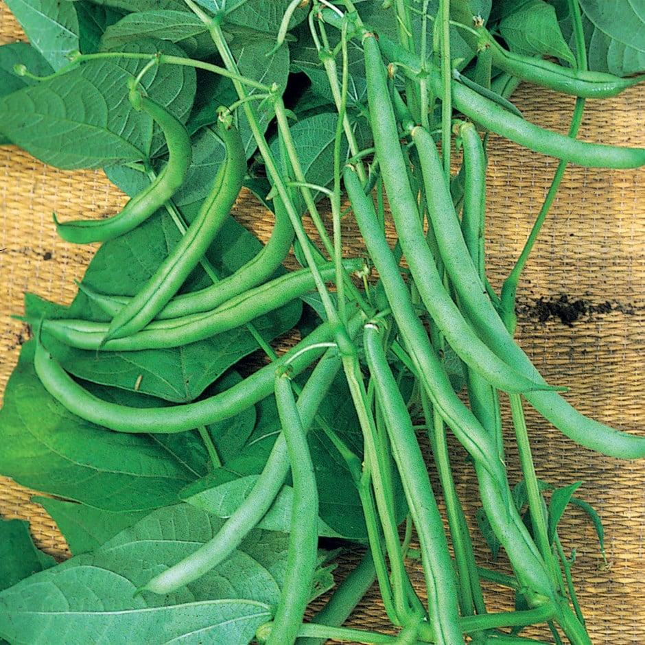climbing French bean / Phaseolus vulgaris 'Blue Lake'