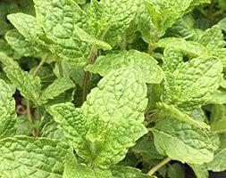 Moroccan mint / Mentha spicata var. crispa 'Moroccan'
