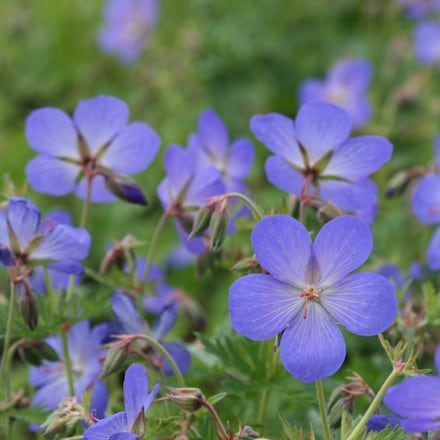 Geranium × johnsonii Johnson's Blue