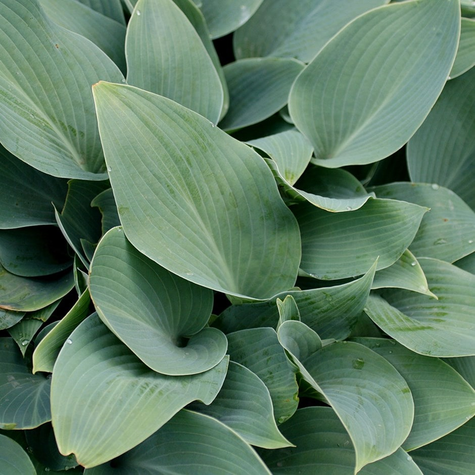 Buy Plantain Lily Hosta Tardiana Group Halcyon 699 Delivery By