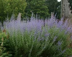 Russian sage syn. Salvia 'Blue Spire'