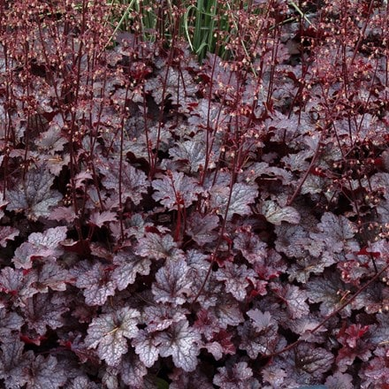 Heuchera Plum Pudding (PBR)