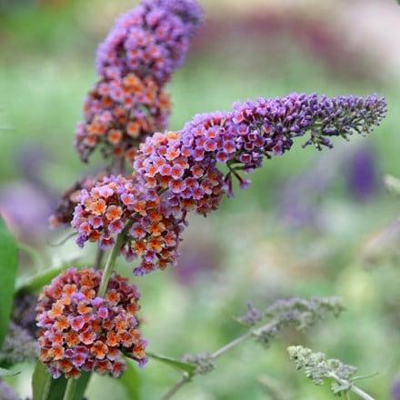 Buddleja × weyeriana Bicolor