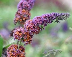 butterfly bush (syn Buddleja Flower Power )
