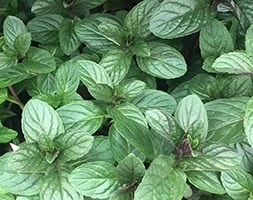 chocolate mint / chocolate peppermint / Mentha × piperita f. citrata 'Chocolate'