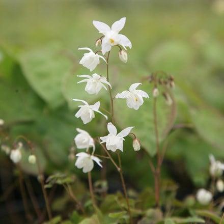 Epimedium × youngianum Niveum
