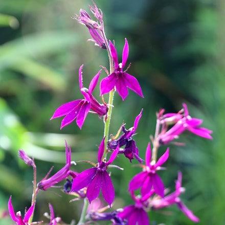 Lobelia × speciosa Hadspen Purple (PBR)