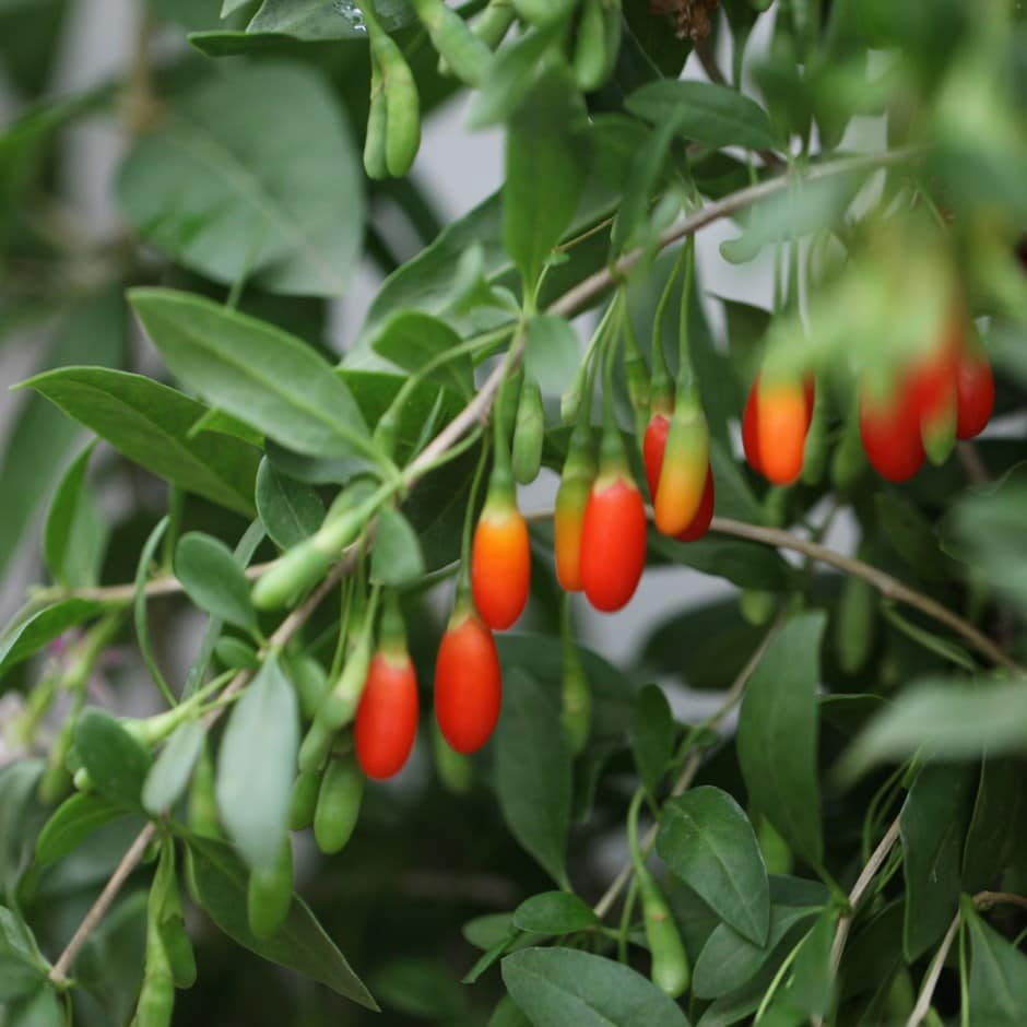 Buy Goji Berry Lycium Barbarum Goji Berry Delivery By Waitrose