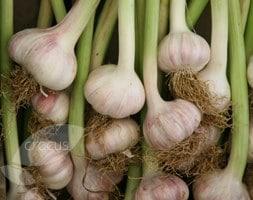 garlic Lautrec Wight