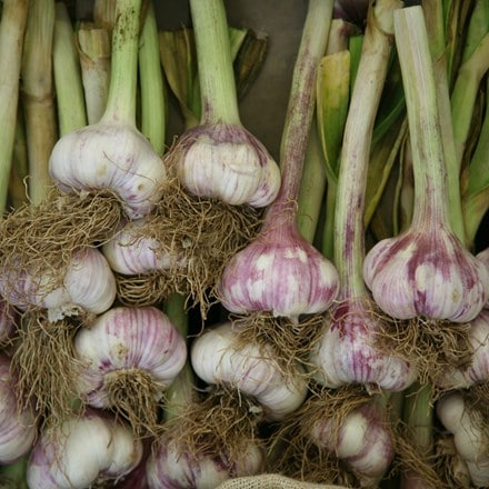 garlic Early Purple Wight