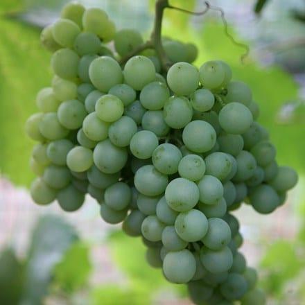 grape Pinot Blanc