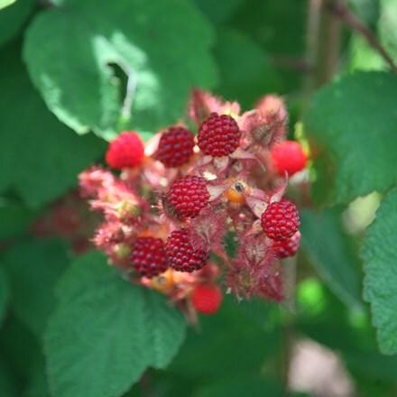 Rubus phoenicolasius Japanese wineberry