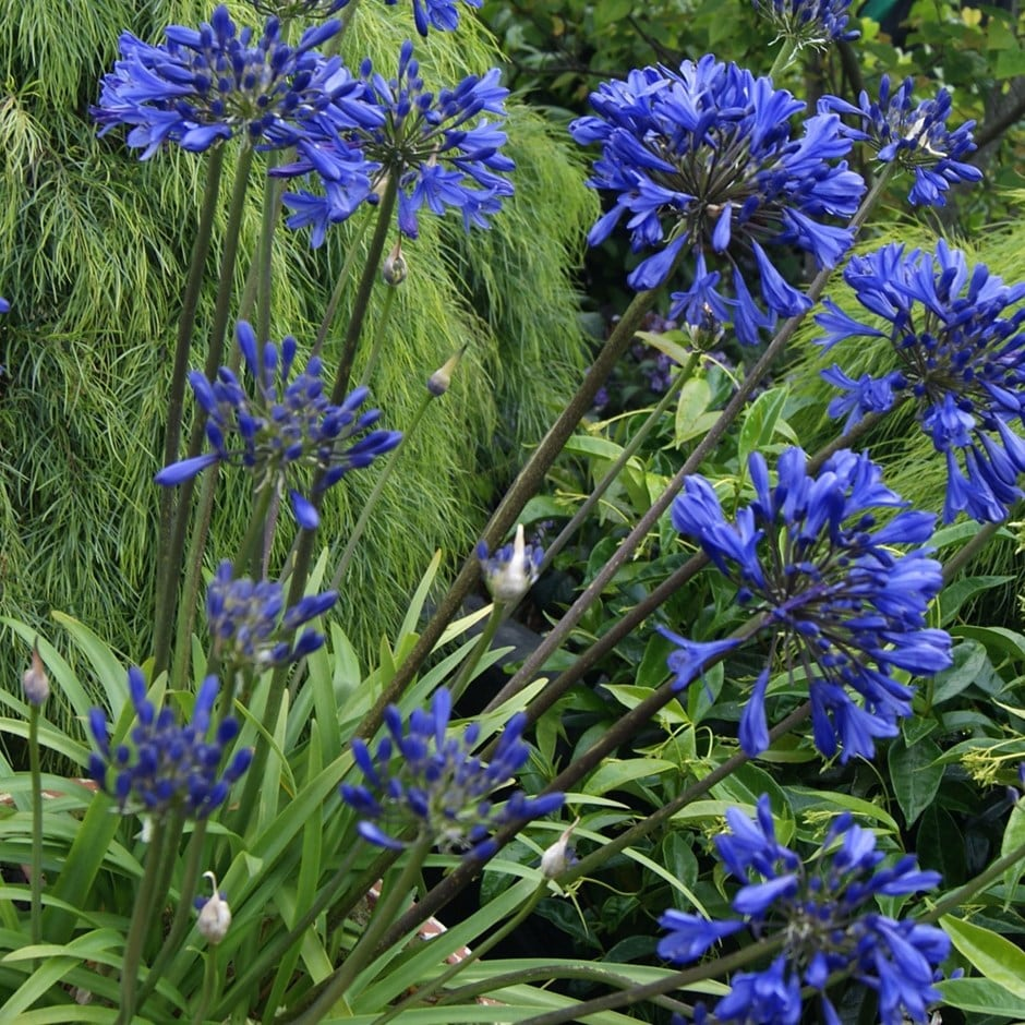 African lily Navy Blue