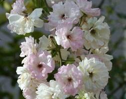 rose Phyllis Bide (rambler)