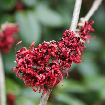 Hamamelis × intermedia Diane