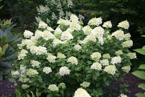 buy hydrangea hydrangea paniculata limelight pbr delivery by crocus. Black Bedroom Furniture Sets. Home Design Ideas