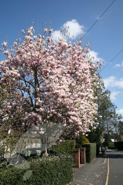 buy magnolia magnolia soulangeana delivery by waitrose. Black Bedroom Furniture Sets. Home Design Ideas