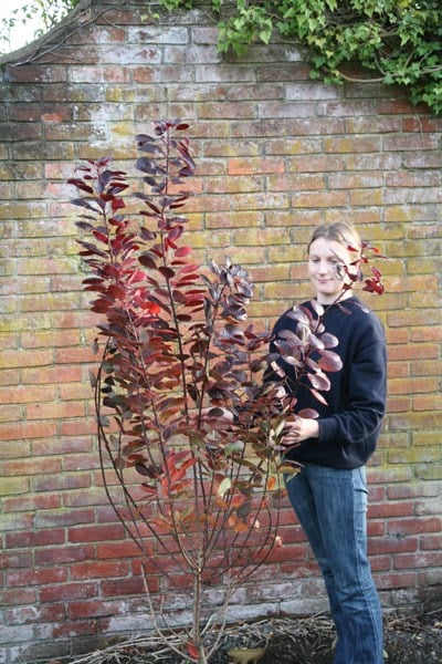 Buy Smoke Bush Cotinus Coggygria Royal Purple 163 79 99