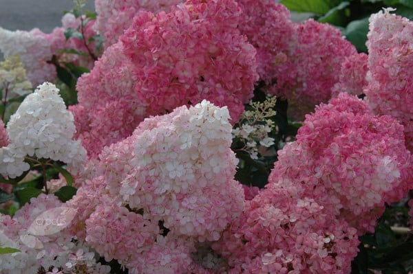buy hydrangea hydrangea paniculata vanille fraise. Black Bedroom Furniture Sets. Home Design Ideas