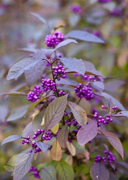 Buy Beauty Berry Callicarpa Bodinieri Var Giraldii