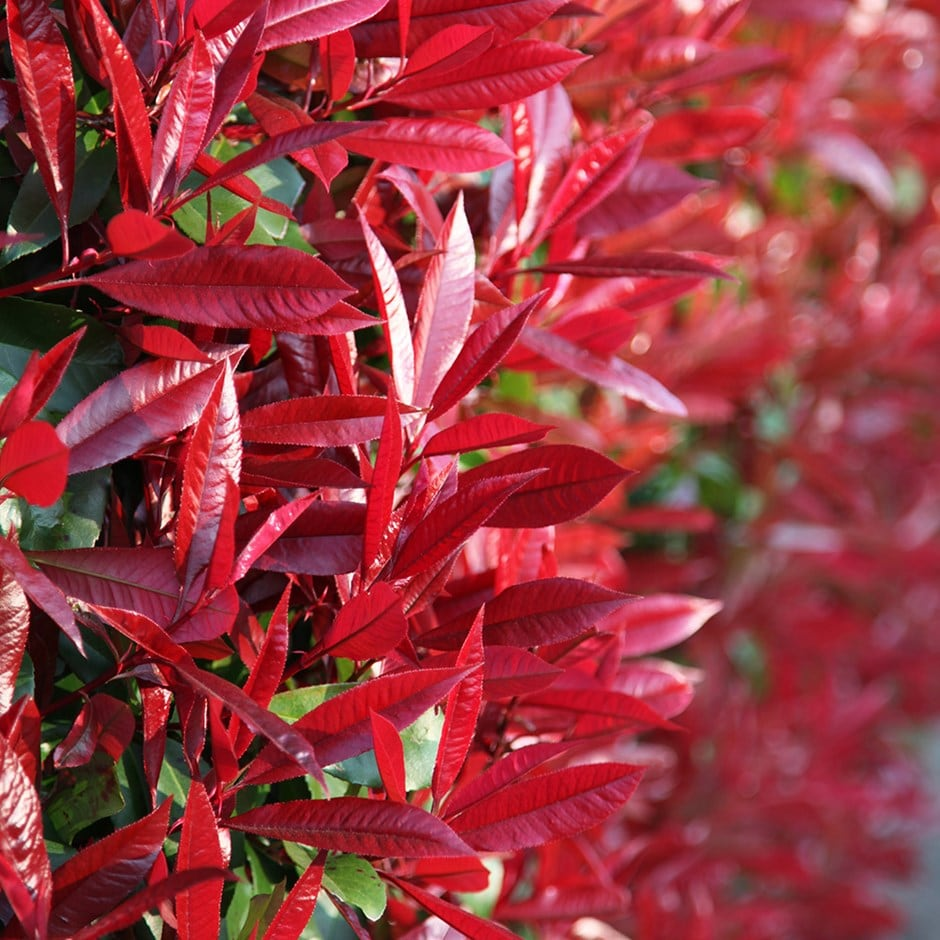 <i>Photinia</i> × <i>fraseri</i> 'Red Robin'