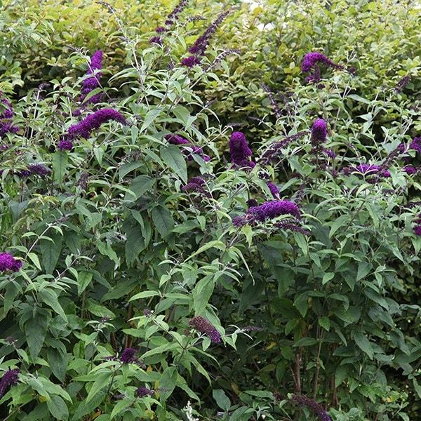 Buy Butterfly Bush Buddleja Davidii Black Knight 163 54 99