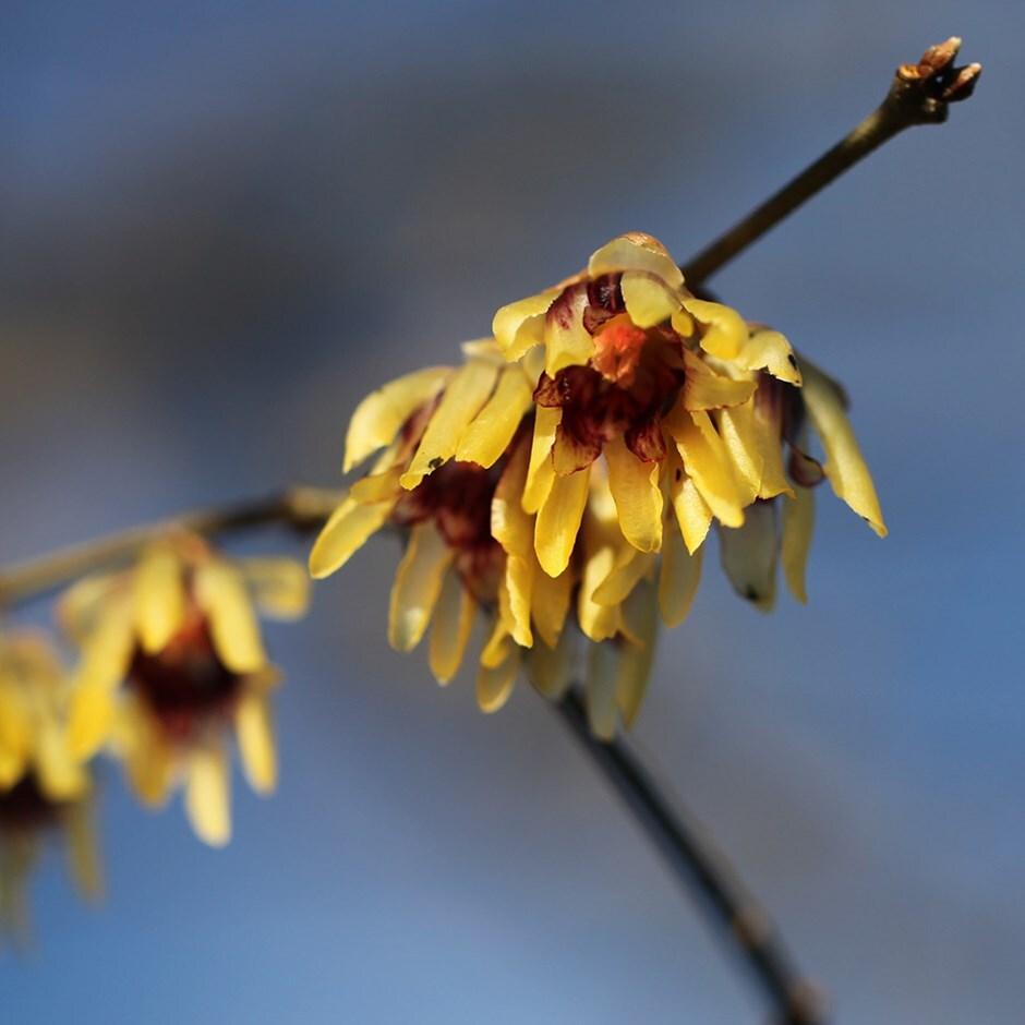 wintersweet