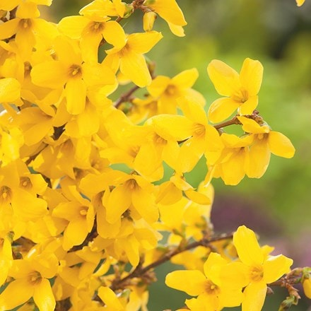 Forsythia × intermedia Week End ('Courtalyn') (PBR)
