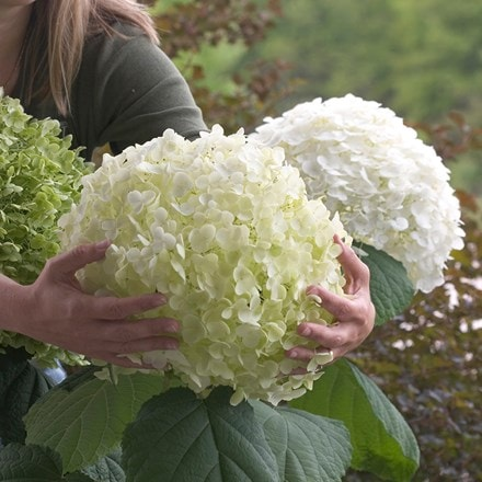 Hydrangea arborescens Incrediball ('Abetwo') (PBR)