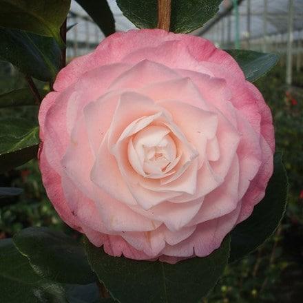 Camellia japonica Desire