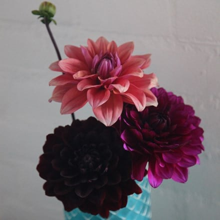 Opulent dahlia collection