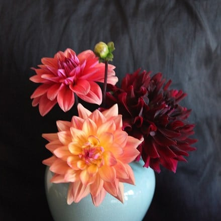 Renaissance dahlia collection