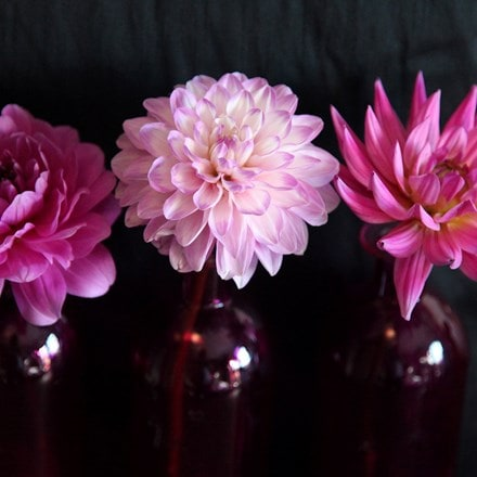 Dahlia Pink and blue collection