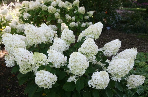 buy hydrangea hydrangea paniculata silver dollar delivery by crocus. Black Bedroom Furniture Sets. Home Design Ideas
