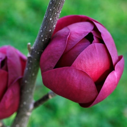 Magnolia Black Tulip ('Jurmag1') (PBR)