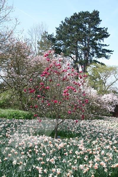 Buy Magnolia Magnolia Black Tulip Jurmag1 Pbr Delivery By