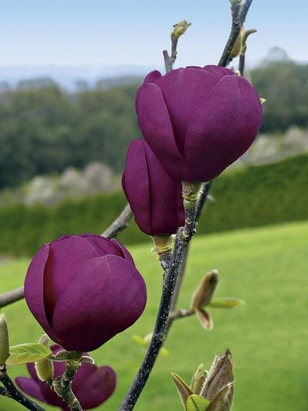 Buy Magnolia Magnolia Black Tulip Jurmag1 Pbr