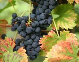 grape Regent